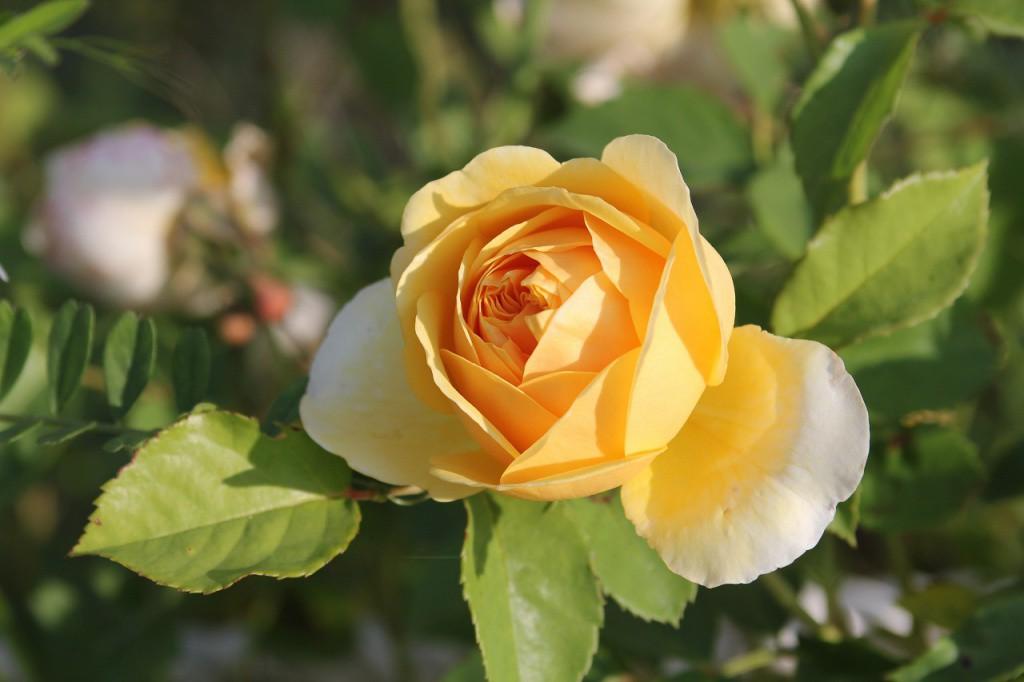 きびの森もようやくバラの季節が訪れました。