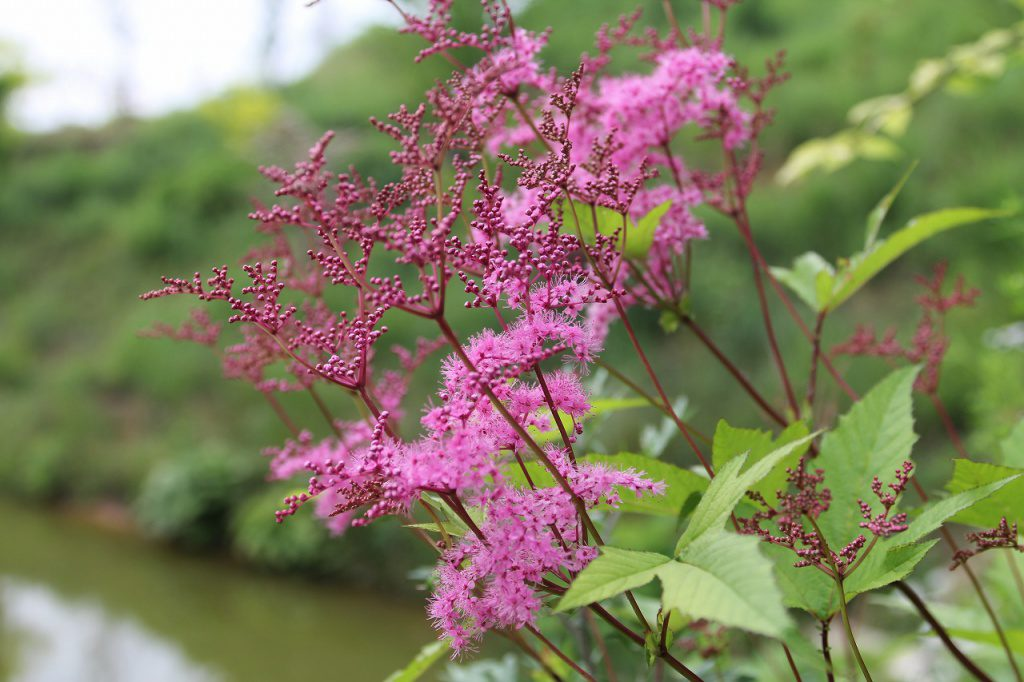 水辺の植物たちが満開です。