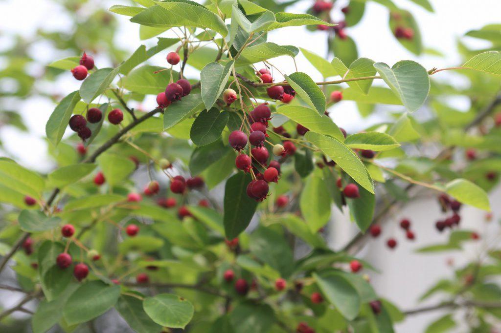 ジューンベリー(アメリカザイフリボク)バラ科 ザイフリボク属 Amelanchier canadensis