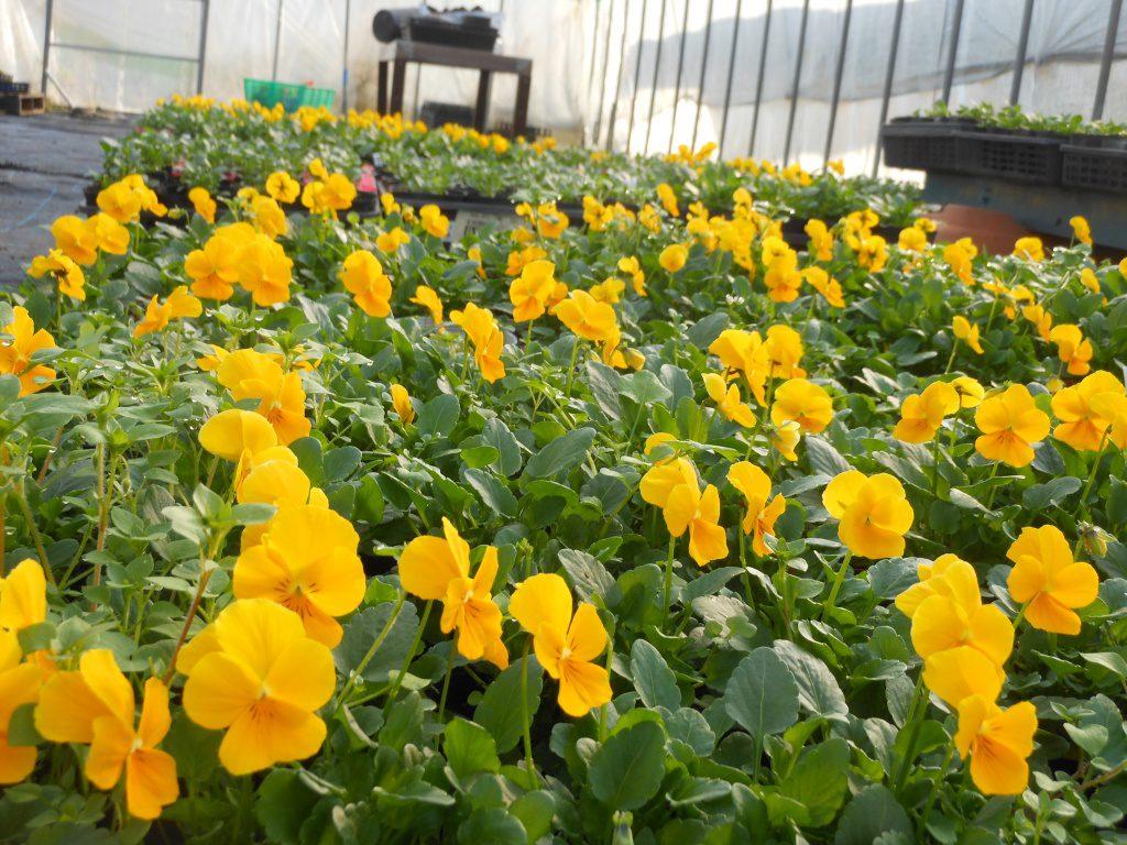 ビニールハウスの中で植栽用のビオラが順調に大きくなっています