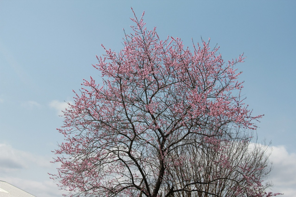 今日は大変いい天気で、植物園もようやく桜が満開になりました。