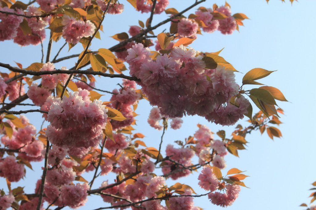 4月29日現在 満開の花