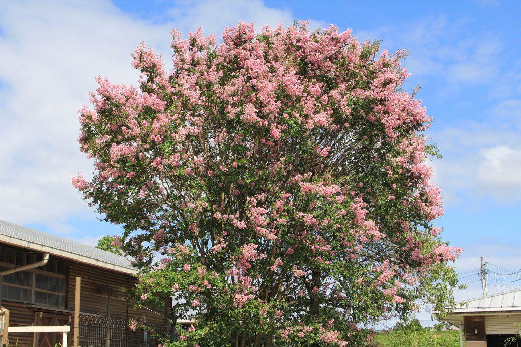 暑い日が続きますが、サルスベリやムクゲの花は咲いています。