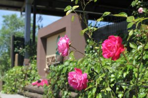 植物園にようやくバラが咲きだしました。